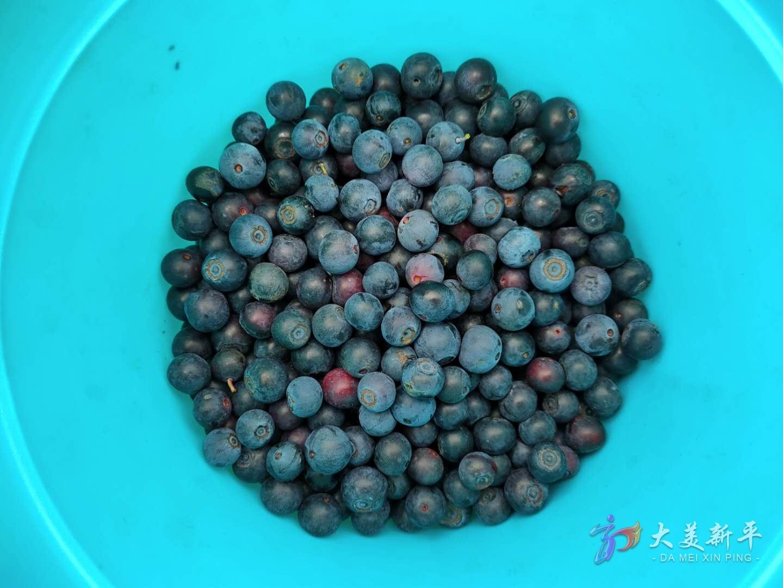 建兴:高山蓝莓试种成功 采摘游敲开致富门(李晓丽、刀雪锋) (5).jpg